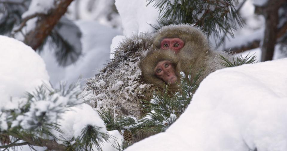 snowmonkeys-3