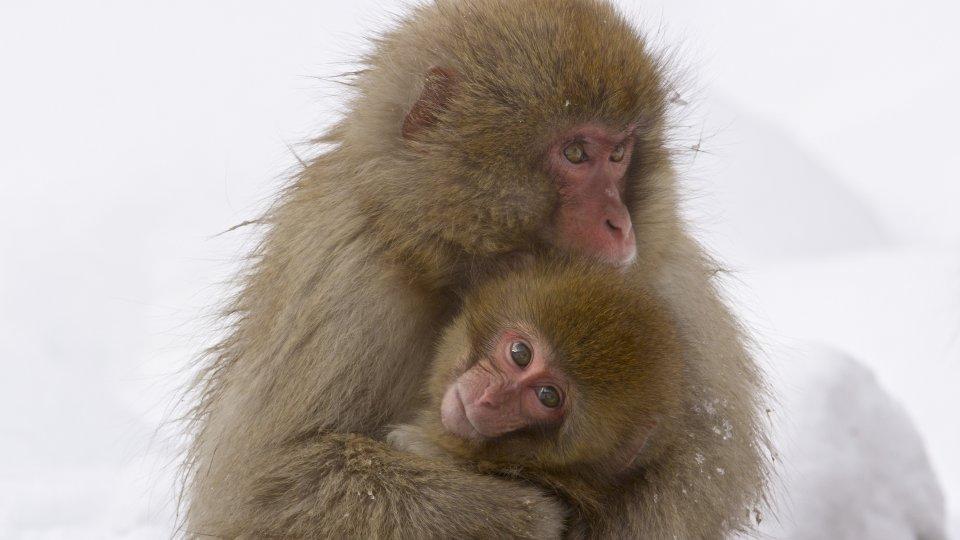 Wild Japan: Snow Monkeys