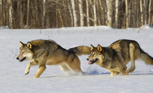 Gray Wolves Running in Snow  Canis Lupus